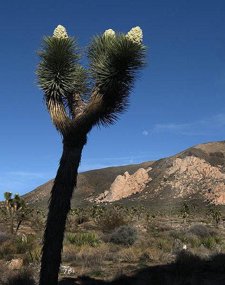 Blooming joshua tree near Cap Rock.<br> Photo by Blitzo.