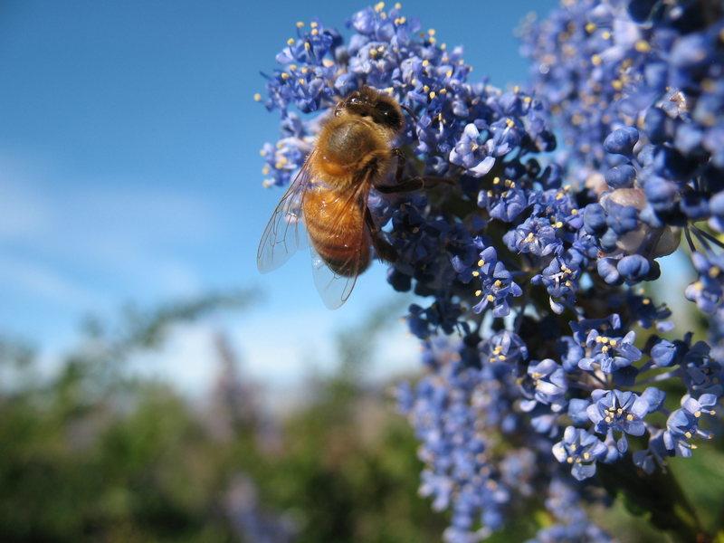 Mountain Lilac and bee, San Jacinto Mountains