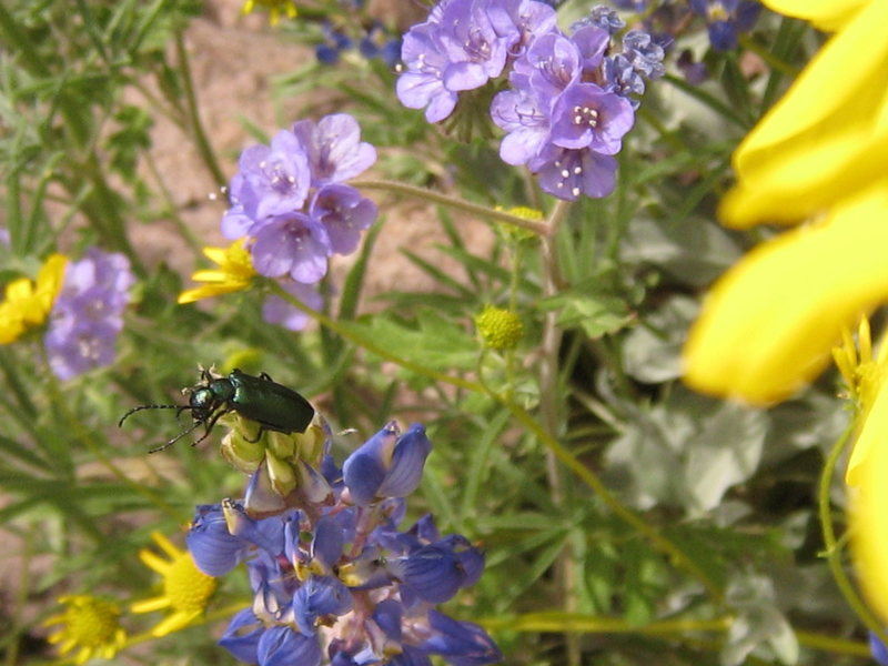 Beautiful metallic green Jewel Beetle giving herself a good rub down.  Everything got cleaned--antennas, head, body, wings!<br> Superstition Mountains<br> March 12, 08