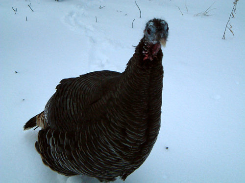 """Dude, lemme lead it!""<br> <br> Wild turkey at Turkey."