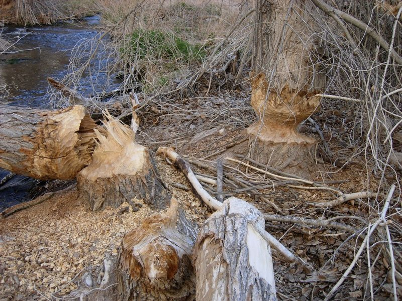 Beavers also have plans to dam the Gorge. Photo by Tony Tennessee.