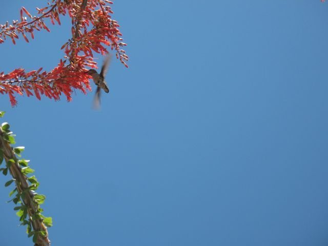 Hummingbird and Ocotillo, Joshua Tree NP