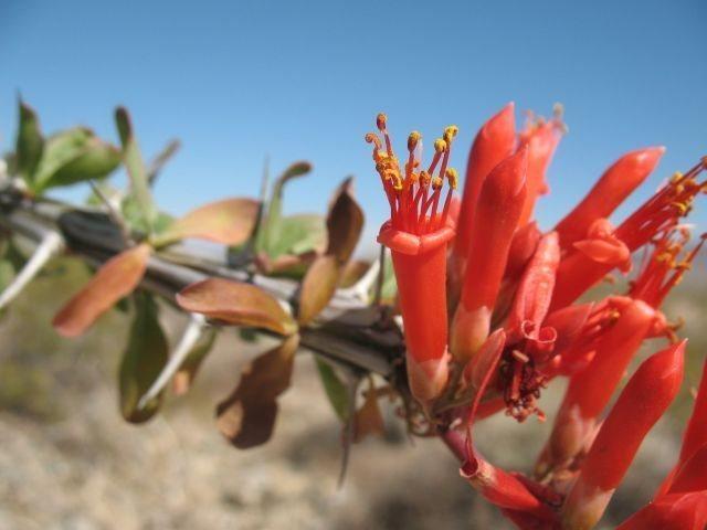 Ocotillo (Fouquieria splendens), Joshua Tree NP
