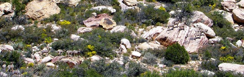 I counted a herd of sixteen bighorn sheep in the Willow Springs picnic area last week. <br> <br> (Red Rock, Nevada)