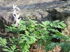 Rock Climbing Photo: Spring has returned.  Dutchmans Breeches.