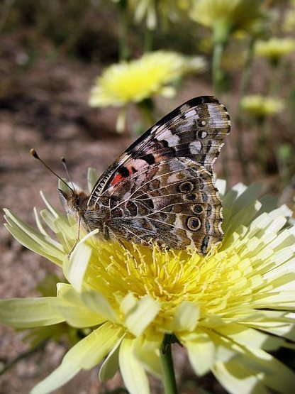 Rock Climbing Photo: Butterfly and Desert Dandelion, Joshua Tree NP