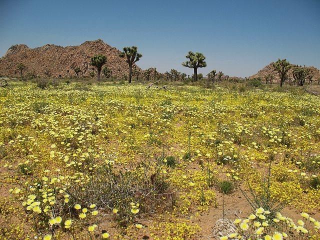 Fields of gold near Trashcan Rock, Joshua Tree NP