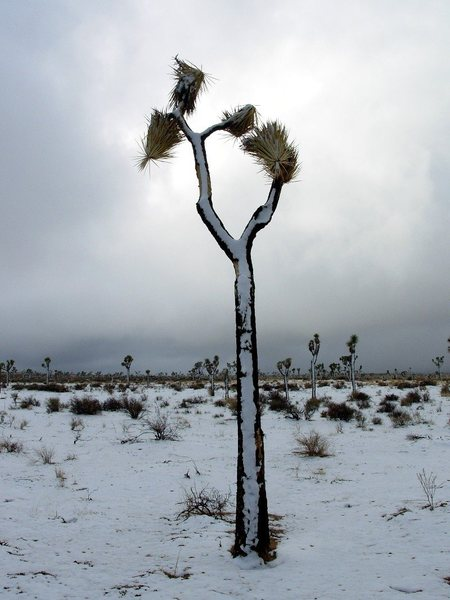 Winter can bring snow and a different look to the desert. Joshua Tree near Jumbo Rocks.