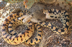 Rock Climbing Photo: A gopher snake having a bunny for lunch. Photo by ...