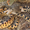 A gopher snake having a bunny for lunch.<br> Photo by Blitzo.