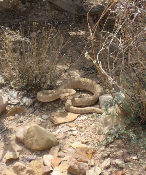 Rock Climbing Photo: Angry Rattle Snake tripped over on way back to cam...