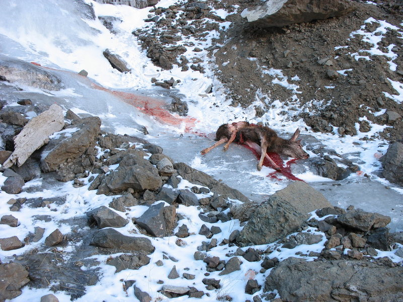 We estimate this deer had fallen three pitches down the ice flow. Evident from the trail of blood. let's be careful out there!