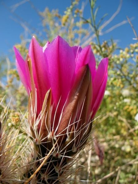 Hedgehog Cactus (Echinocereus engelmannii) bloom, Joshua Tree NP