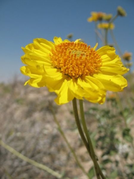 Rock Climbing Photo: Desert Sunflower (Geraea canescens), Joshua Tree N...