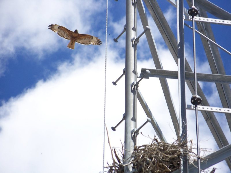 Rock Climbing Photo: Redtail Hawk, circling nest 40' up the tower at An...