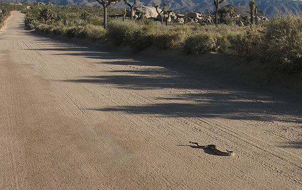 A western diamondback rattlesnake heading down the Geology Tour Road.<br> Photo by Blitzo.