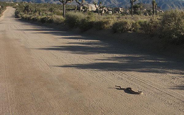 Rock Climbing Photo: A western diamondback rattlesnake heading down the...