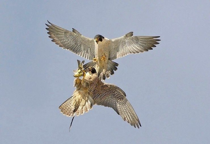 falcon food exchange pic 3, female inverting to receive from male. Photo by Will Sooter