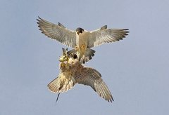 Rock Climbing Photo: falcon food exchange pic 3, female inverting to re...