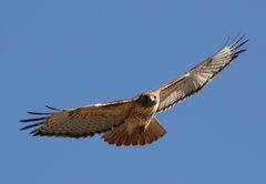 Rock Climbing Photo: Red Tailed Hawk in flight