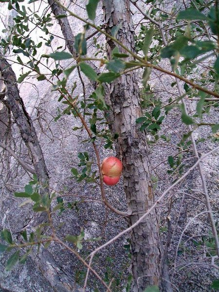 The scrub oaks on the east side of Little Hunk feature several Apple Gall's.<br> <br>