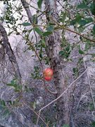 Rock Climbing Photo: The scrub oaks on the east side of Little Hunk fea...