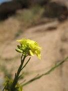 Rock Climbing Photo: Mustard flower (Hirschfeldia incana), Mt. Rubidoux...
