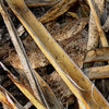 Rattlesnakes are well camouflaged.<br> Photo by Blitzo.