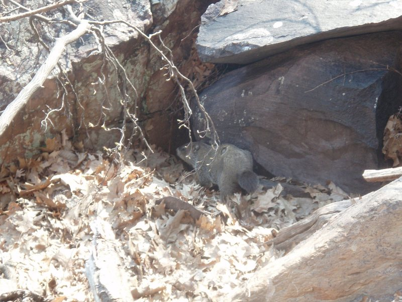 Rock Climbing Photo: Our friend the woodchuck