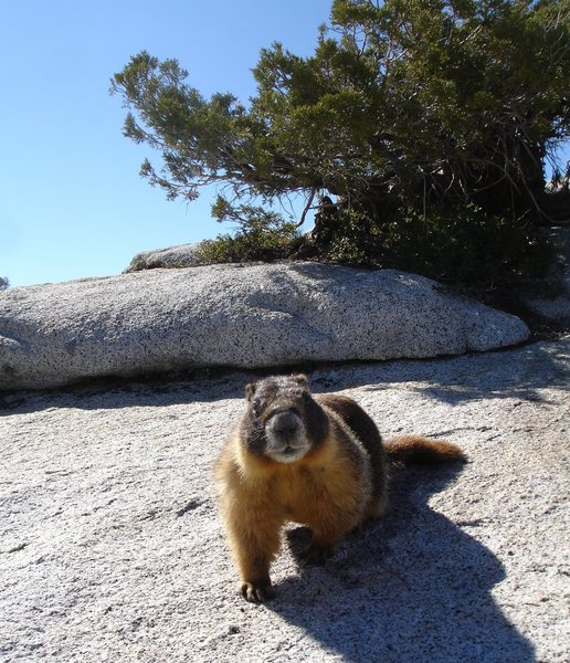 You're looking at me like I have rabies or something.... <br> <br> An overly friendly Marmot.