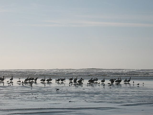Pelicans and surf, Moonstone Beach