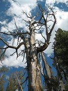 Rock Climbing Photo: Weathered tree on the hike up to Crystal Crag, Mam...