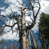 Weathered tree on the hike up to Crystal Crag, Mammoth Lakes Basin.