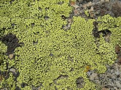 Rock Climbing Photo: Colorful lichen is abundant in the area, 8000 Foot...