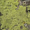Colorful lichen is abundant in the area, 8000 Foot Crag