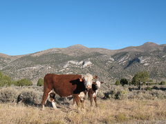 Rock Climbing Photo: Cows and crags in Northeast Nevada.