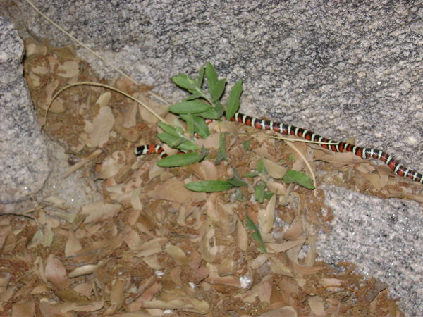 Sonoran Mountain Kingsnake. Saw it hiking out after a nice cool evening of sunset climbing at Punch and Judy.