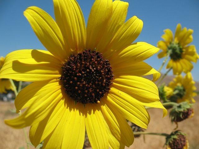 Trailside sunflowers, Riverside Quarry