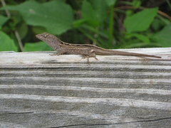 Rock Climbing Photo: lizard