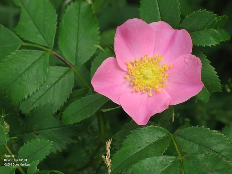 Wild rose in the woods