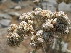 Rock Climbing Photo: California Buckwheat (Eriogonum fasciculatum), Riv...