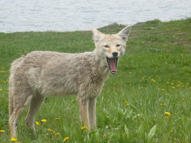 YNP wildlife, July 2007 - coyote