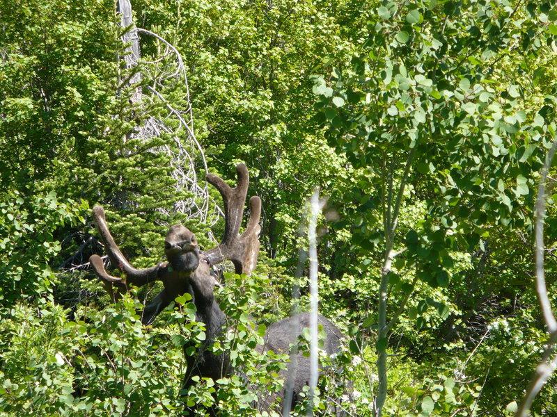 The moose I nearly ran into on the horse trail, Jenny Lake. GTNP, July 2008