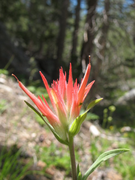 Indian Paintbrush (Castilleja miniata), Tramway.