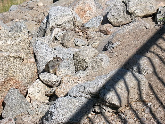 California Ground Squirrel at Mountain Station, Tramway