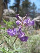 Rock Climbing Photo: San Jacinto Lupine (Lupinus hyacinthinus), Tramway...