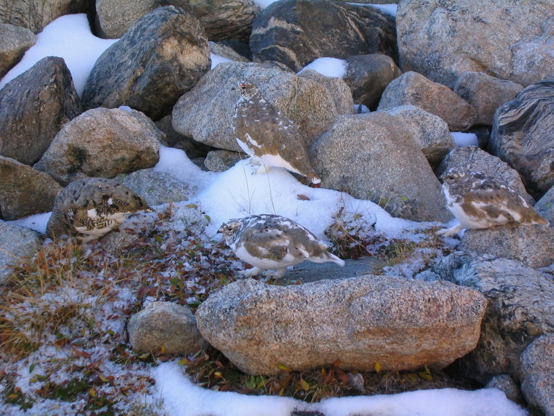 Ptarmigans near Lake Isabelle.