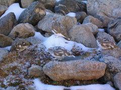 Rock Climbing Photo: Ptarmigans near Lake Isabelle.