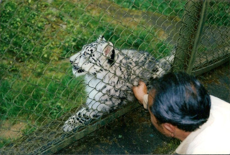 A snow leopard in captivity at the zoo in Darjeeling, India.