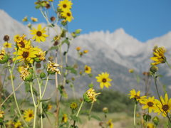 Rock Climbing Photo: Sunflowers and Mt. Whitney, Alabama Hills